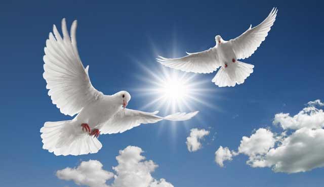 Пара белых голубей
